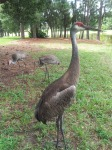 Don't Feed the Sneetches: the Florida Sandhill Crane