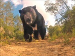 Animal Underpasses to Give Bears and Other Animals a Safe Way to Cross I-4