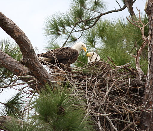 Bald_eagle_pair_in_nest_(cropped)