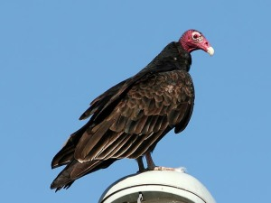 Vulture,_Turkey_KenSlade